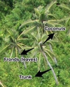 diagram of a coconut tree